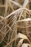 Brau-Gerste / malting barley