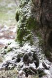 Olivenbaum / olive tree