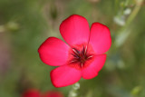 Roter Lein / red flax