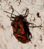 Schmuckwanze / stink bug