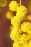 Mimosen / mimosas