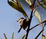Schwanzmeise / long-tailed tit