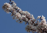 ... the cherry now is hung with bloom along the bough...