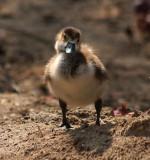 Nilgansküken / Egyptian gosling