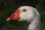 Hausgans / domestic goose