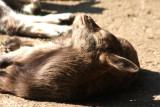 Zicklein, schläfrig in der Sonne / kid, sleepy in the sun