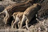 saugende Frischlinge / young boars suckling