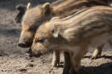 Wildschweine / wild boars