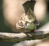 Sperling / sparrow