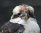 Jägerliest (Lachender Hans) / Kookaburra