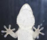Gecko am Fenster / gecko on the window
