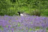 Weißwangengans / barnacle goose