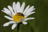 Rothalsbock / red longhorn beetle