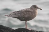 Viking type gulls SW Iceland 28.2-4.3 2010
