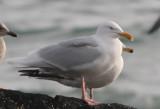 Hyperboreus type gulls SW Iceland 28.2-4.3 2010