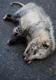 Opossum In The Rain