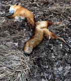 Fox, For John