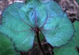 Shady Leaf