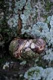 Lichen On Bark