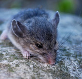 Not-In-The-House Mouse