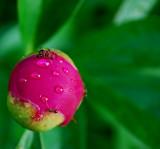 Rain, Peony Bud, And Ants