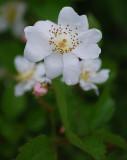 A Very Wild Rose