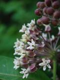 A Bouquet Of Milkweed