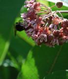 Milkweed And The Bee