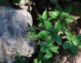 Rock And Virginia Creeper