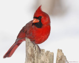 Cardinal Rouge / Northern Cardinal 3355_2