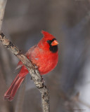Cardinal Rouge / Northern Cardinal 4342