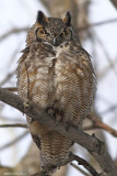 Grand Duc / Great Horned Owl 175