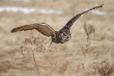Grand Duc / Great Horned Owl 1133