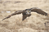 Grand Duc / Great Horned Owl 883