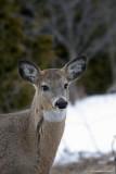 Cerf de Virginie / Whitetail Deer 2214