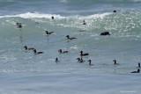 Macreuse à Front Blanc / Surf Scoter 4029