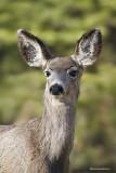Cerf-Mulet / Mule Deer 6163