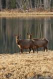 Wapiti / Elk 6249