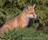 A young fox contemplates next move