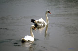 Mute swans,the natiomal bird of Denmark