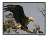 Bald-Eagle-Framed5.jpg