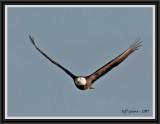 eagle-in-flight-framed.jpg