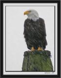 eagle-in-rain.jpg