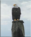eagle-w-blue-sky.jpg