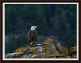 majestic-eagle-framed.jpg