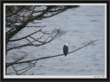 eagle-on-tree-framed.jpg