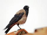 Corvus corone cornix - Siva vrana - Hooded Crow