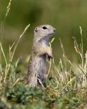 Spermophilus citellus - Evropska Tekunica - European Ground Squirrel