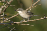 Sylvia hortensis - Svetlooka penica - Orphean Warbler