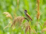Acrocephalus arundinaceus - Rakar - Great reed warbler